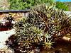 Aloe ramosissima, Goegap Nature Reserve