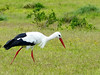 White Stork, Addo Elephant National Park