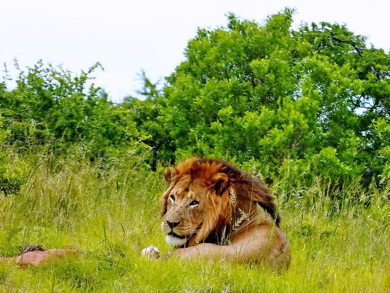 Lion, Addo Elephant National Park