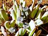 Unidentified succulent, Goegap Nature Reserve