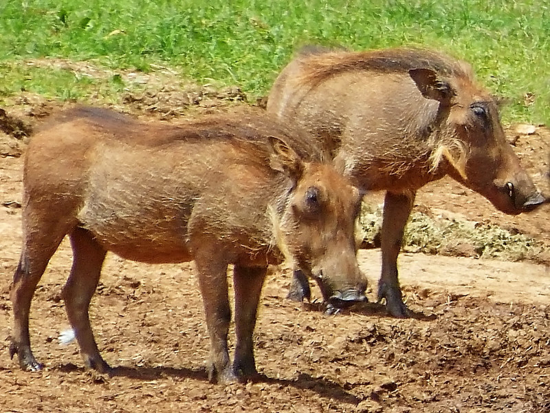 Common warthog piglets, Addo Elephant National Park