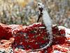 Karoo girdled lizard, Goegap Nature Reserve