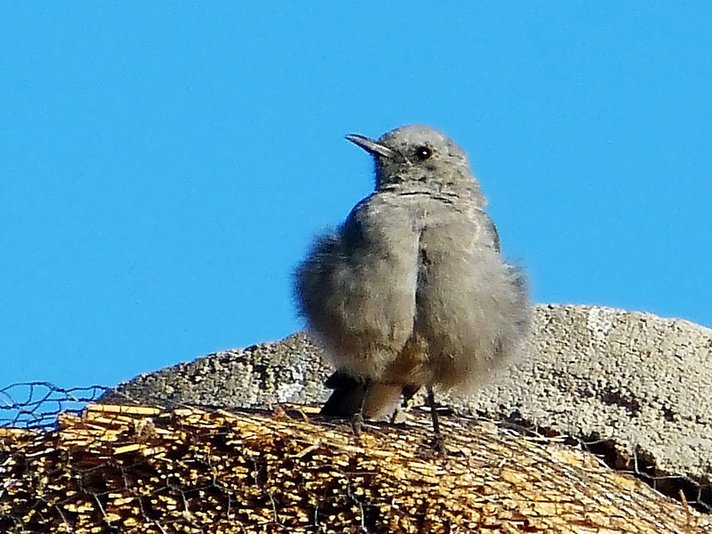 Mountain Wheatear, juvenile, Goegap Nature Reserve