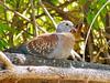 Speckled Pigeon, juvenile, Goegap Nature Reserve