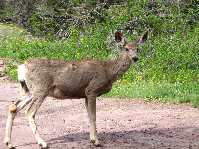 Mule Deer, Glacier National Park.