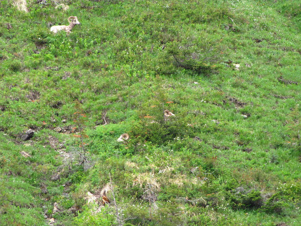 Big Horn Sheep, Glacier National Park.