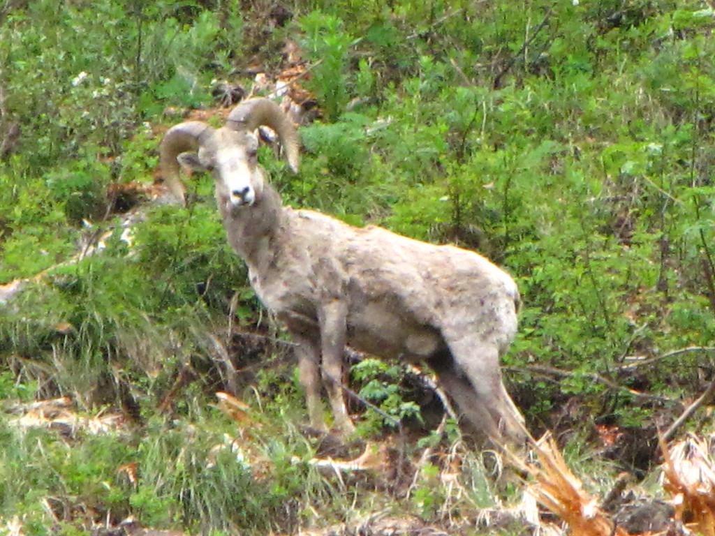 Big Horn Sheep, Glacier National Park.