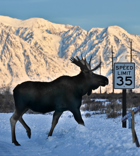 Observe the Speed Limit<br /> Traveling moose, challenging the local speed limit.