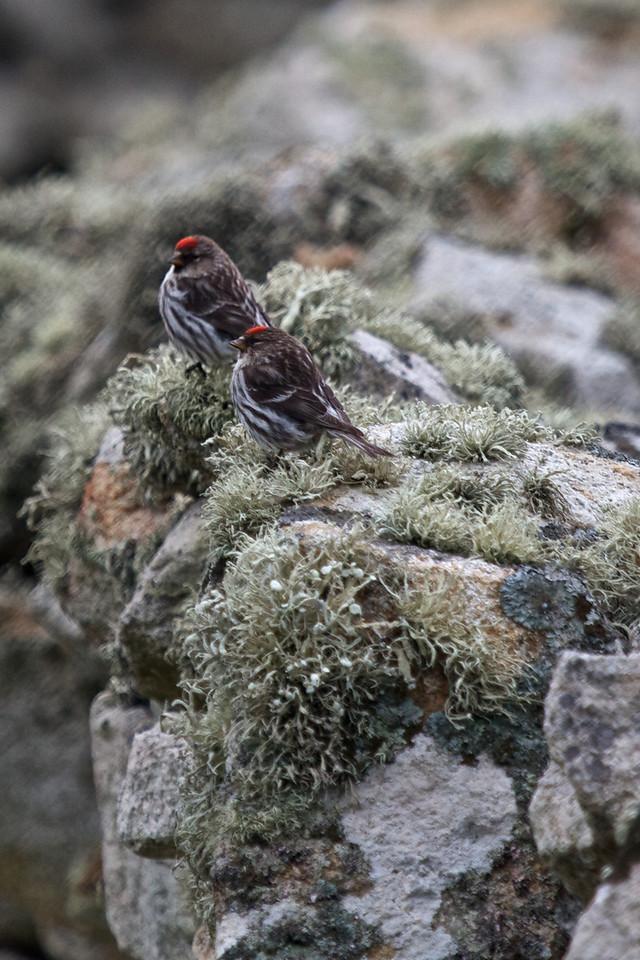 St Kilda , redpolls