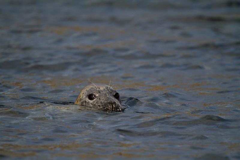 Shiant Isles  grey seal