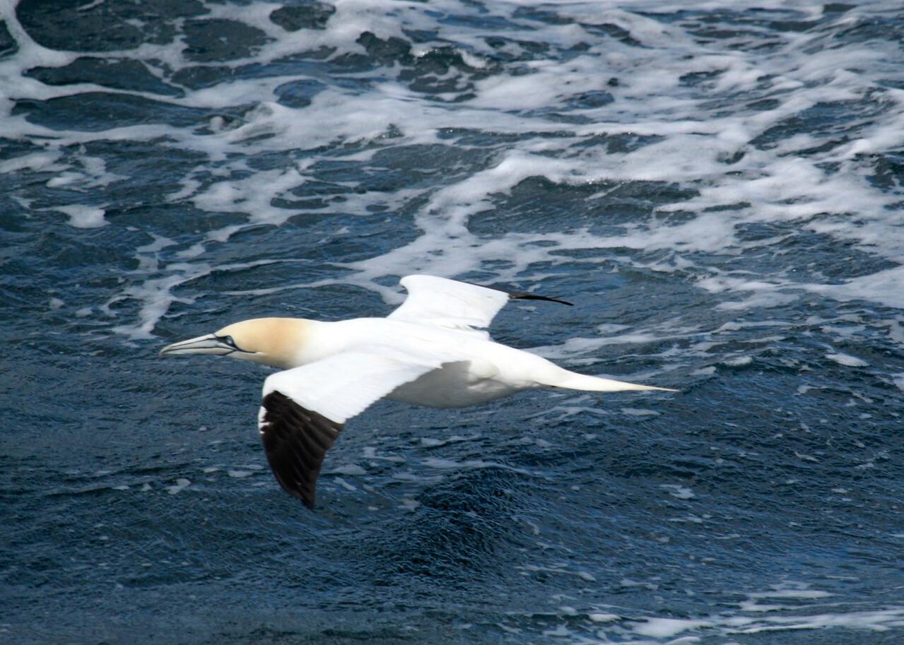 The Stacks, gannet