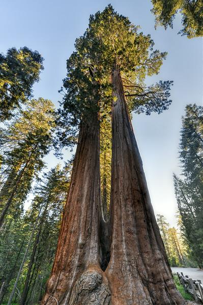Merged Giant Sequoia Trees