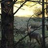 Coyote in RMNP