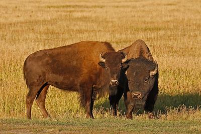 Bison Pair