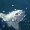 """4218 Another giant ocean sunfish. As you can see, it does not have the normal elongated shape of a fish. Since it swims on its side, it uses its dorsal and anal fins (its """"wings"""") for propulsion. This one is headed toward the upper right. See <a href=""""http://en.wikipedia.org/wiki/Ocean_sunfish"""">http://en.wikipedia.org/wiki/Ocean_sunfish</a> for more info. This is one interesting fish."""