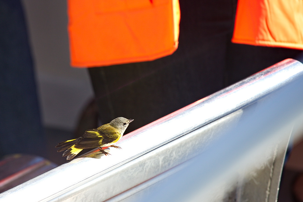 4212 From huge to tiny. As we were cruising around looking for whales, this little bird must have gotten tired of flying over the open ocean and stopped for a rest on our boat. It is a female American redstart and it charmed us all. Our naturalist asked us to please give it room so that it doesn't become frightened, but we must have had a lot of deaf people aboard; they couldn't get close enough to look at it.