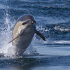 4130 Another tail walker. This one is my favorite photo of the entire dolphin series.