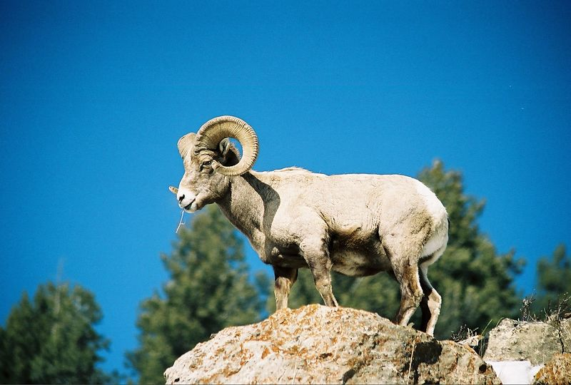 Big Horn Sheep - North Yellowstone