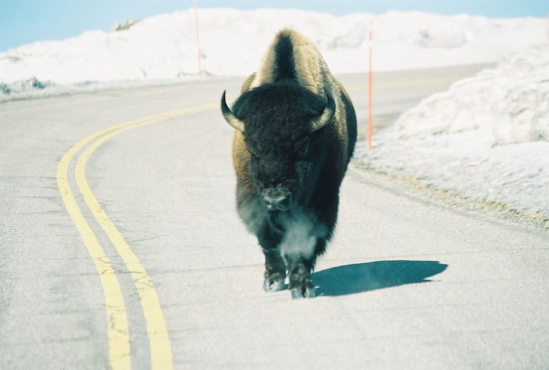 north yellowstone - snorting bison