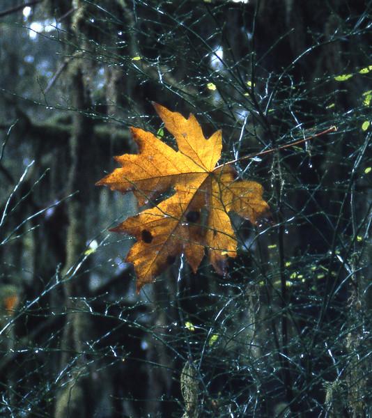 All Tangled Up - Hoh Rainforest - Olympic Peninsula WA
