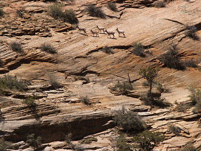 Mountain goats, enroute to Bryce Canyon, Utah, April 12, 2006