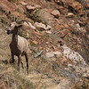 Mountain goat, enroute to Bryce Canyon, Utah, April 12, 2006