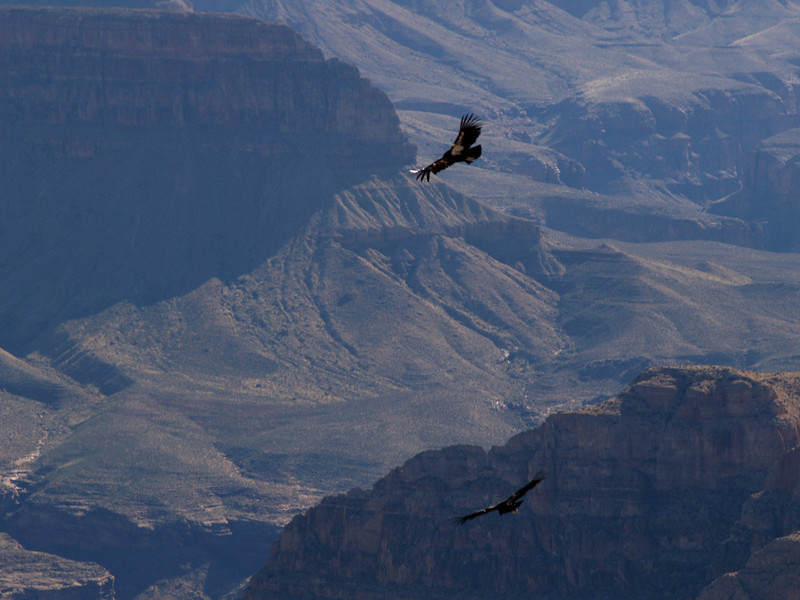 California Condors over the Grand Canyon, April 16, 2008.
