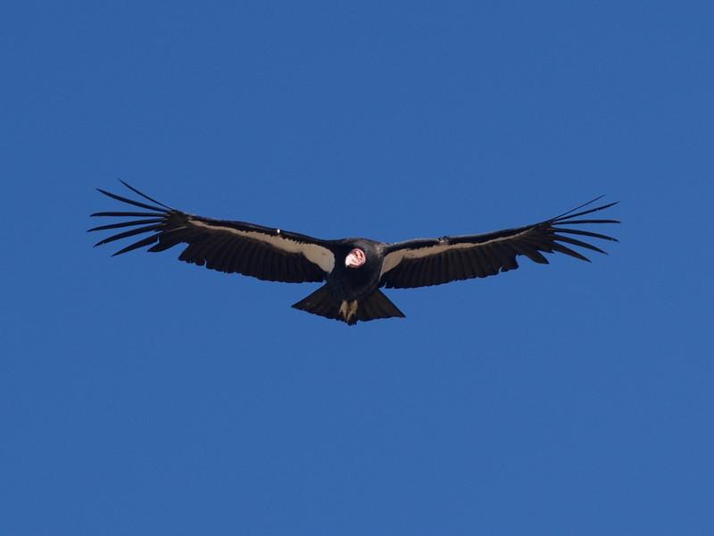 California Condor over the Grand Canyon, Arizona, April 16, 2008.