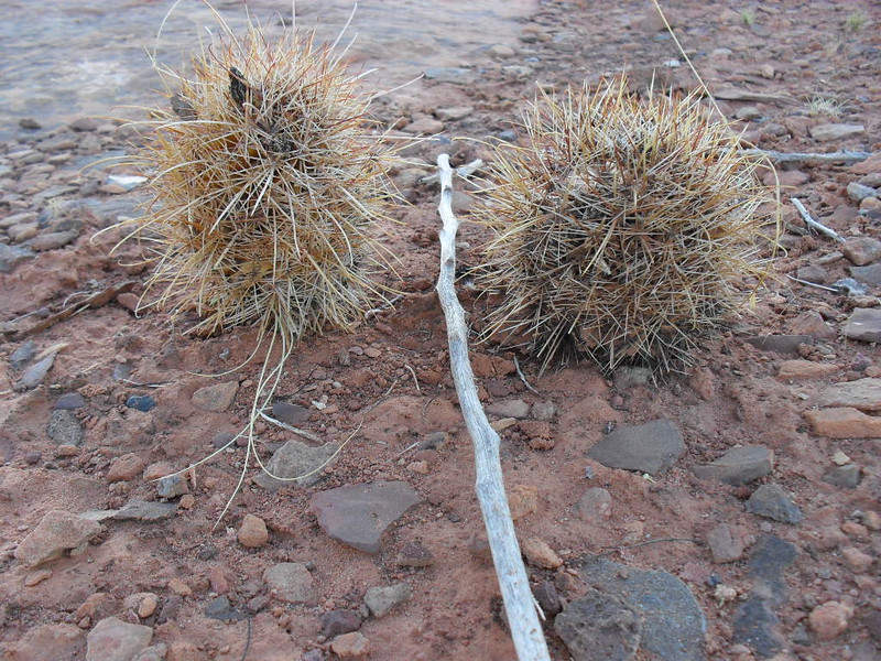 Strucks pic<br /> A couple of Barrel cactus