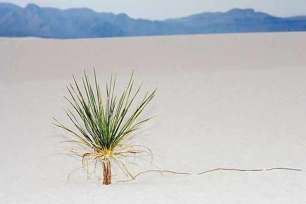 LONE YUCCA IN THE SAND