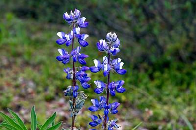 Arctic Tundra Lupine wildflowers