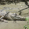 Crocodile on the shore of the Proserpine River at Whitsundays, Airlie Beach in Queensland, Australia.