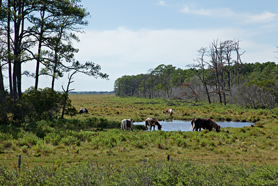 Chincoteague Ponies--    The Chincoteague Pony is a hardy breed that breed originates on the Atlantic island of Assateague-Chincoteagues come in most all colors and patterns, with pinto being the most popular and the most prevalent.  MMC shot
