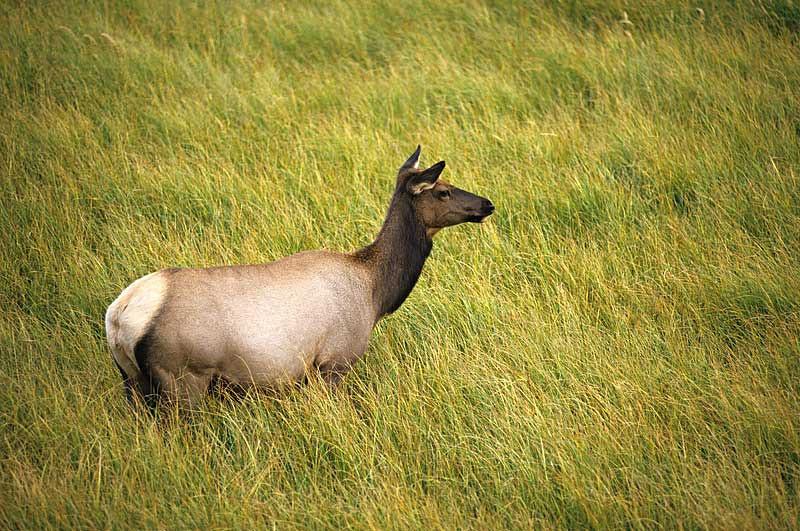 Female Elk in Tall Grass