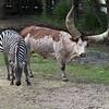 Zebra & Antole-Watusi