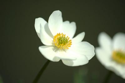 Wild Flowers of Denali, Alaska