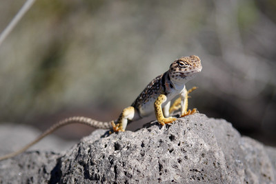 Lizard  - Valley of Fire New Mexico