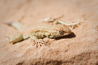 stealthy lizard