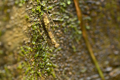 Bark Mantis ( probably a female )