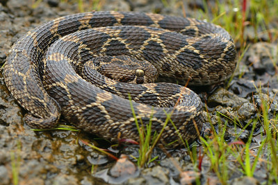 Coiled up .... Saw scaled viper