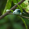Blue-and-Grey Tanager