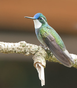 White-throated Mountain Gem,