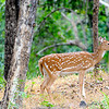Spotted Deer/Chital