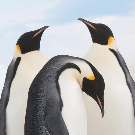 2010 Antarctica Emperor Penguin Rookery