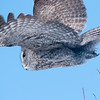 Great Grey Owl takes flight in the boreal forest near Winnipeg, Manitoba, Canada.