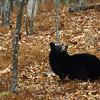 Bear? where?