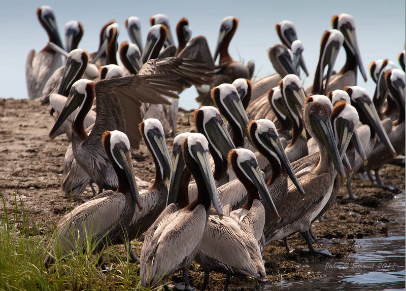 Brown Pelicans at rookery
