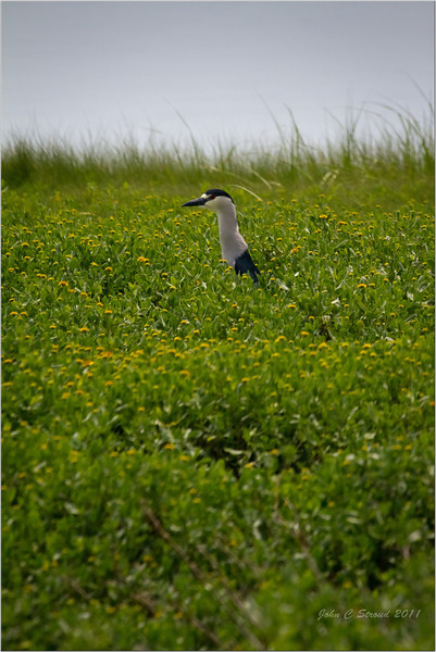 Mystery solved! A black-crowned night heron poking his long neck out of the vegetation ( Thanks to Bill Swindaman and John Bowden for identification of this beautiful species )