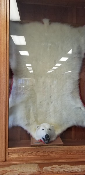 POLAR BEAR SKIN IN THE CHURCHILL AIRPORT, MANITOBA, CANADA. WITH SPORTS LEISURE VACATIONS.