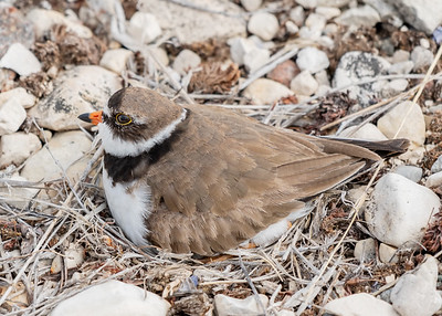 SEMIPALMATED PLOVER ON A NEST, CHURCHILL WILDLIFE MANAGEMENT AREA, MANITOBA, CANADA. WITH SPORTS LEISURE VACATIONS.